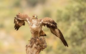 Картинка природа, птица, Ястребиный орёл