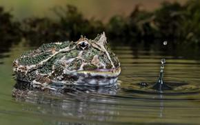 Картинка nature, frog, water, pukka
