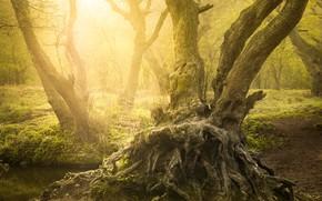 Картинка лес, лето, солнце, свет, деревья, природа, корни, туман, дерево, стволы, берег, дымка, водоем, коряги