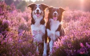 Картинка язык, собаки, солнце, свет, цветы, поляна, две, пара, розовые, парочка, дуэт, друзья, цветение, бордер-колли, вереск