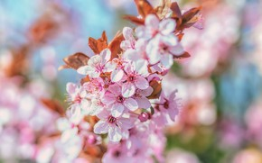 Картинка вишня, дерево, розовый, весна, цветение