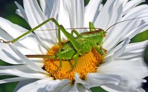Картинка цветок, макро, зеленый, ромашка, кузнечик