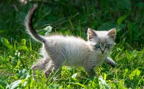 Картинка кошка, трава, котенок, поляна, котёнок, голубые глаза