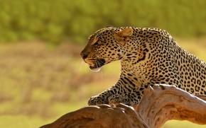 Картинка фон, хищник, леопард, коряга, Кения, дика кошка