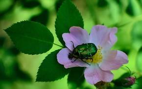 Картинка цветок, лето, макро, зеленый, фон, розовый, жук, ветка, шиповник, насекомое, бронзовка
