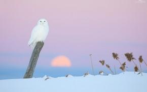 Картинка зима, сова, розовый фон