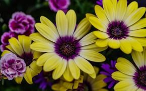 Картинка макро, цветы, яркие, букет, желтые, гвоздика, сиреневые, остеоспермум