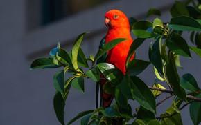 Картинка листья, птица, ветка, попугай, Королевский попугай