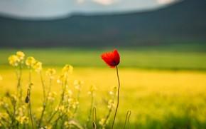 Картинка поле, цветок, лето, цветы, горы, красный, поляна, мак, маки, желтые, одинокий, рапс, рапсовое