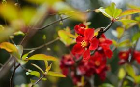 Картинка листья, цветы, ветки, куст, весна, красные, цветение, боке, плодовое дерево
