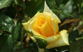 Картинка капли, роза, жёлтая роза