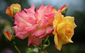 Картинка розы, розовая роза, жёлтая роза