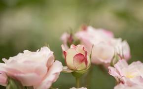 Картинка цветы, фон, куст, розы, розовые, бутоны