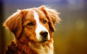 Картинка взгляд, собака, мордочка, уши