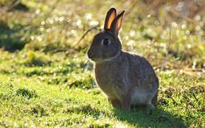 Картинка трава, фон, заяц, сидит, боке