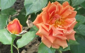 Картинка Цветы, Роза, Цветок, Бутон, Оранжевая роза, Meduzanol ©, Лето 2018