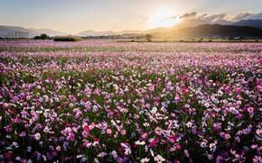 Картинка цветы, горы, природа, космея, поле, лето, солнце