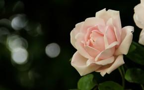 Картинка розовый, нежность, роза