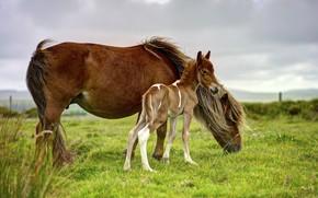 Обои поле, небо, трава, пасмурно, конь, лошадь, кони, малыш, лошади, пастбище, пони, коричневые, детеныш, два, жеребенок, ...