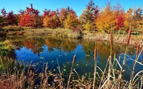 Обои осень, деревья, озеро, камыши