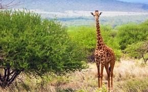 Картинка трава, природа, жираф, саванна, кусты, savanna, Giraffe, Kenya, Tsavo West National Park