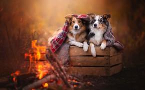Картинка осень, собаки, взгляд, природа, поза, уют, тепло, фон, настроение, огонь, вместе, две, красота, лапы, покрывало, …