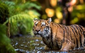 Картинка взгляд, морда, листья, вода, природа, тигр, поза, фон, купание, дикая кошка, водоем, выражение, боке