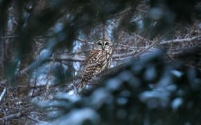 Картинка зима, лес, ветки, сова, птица, боке, неясыть
