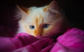 Картинка кошка, кот, взгляд, темный фон, котенок, розовый, портрет, пушистый, покрывало, рыжий, плед, котёнок, голубые глаза, …