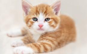 Картинка кошка, белый, взгляд, поза, котенок, фон, портрет, светлый, лапы, малыш, рыжий, мордочка, лежит, котёнок