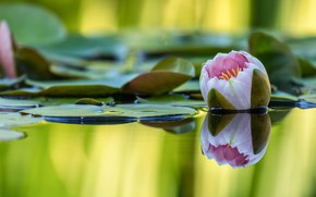 Картинка цветок, листья, вода, природа, озеро, пруд, отражение, розовая, бутон, кувшинка, водоем, размытый фон, нимфея, водяная …