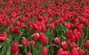 Картинка поле, цветы, тюльпаны, красные, боке