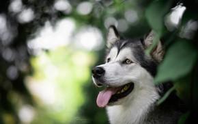 Картинка язык, морда, портрет, собака, боке, Маламут