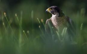 Картинка трава, взгляд, темный фон, птица, портрет, размытие, сокол, хищная
