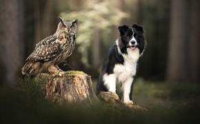 Картинка сова, птица, пень, собака, боке, филин