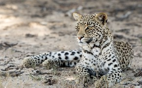 Картинка природа, зверь, Kgalagadi leopard