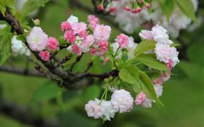 Картинка листья, ветка, весна, сакура, цветение, боке