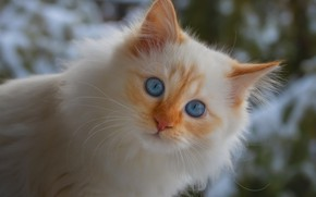 Картинка белый, морда, котенок, пушистый, голубые глаза, невская маскарадная, ред-пойнт