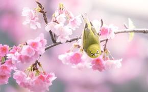 Картинка цветы, фон, птица, ветка, весна, сакура, розовые, птичка, цветение, желтая, японская белоглазка