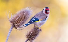 Картинка фон, птица, стебли, растение, щегол, пташка
