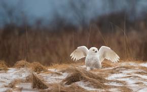 Картинка поле, трава, снег, природа, сова, птица, крылья, белая, полярная, размах, полярная сова