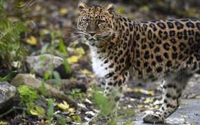Картинка взгляд, морда, листья, камни, лапы, леопард, прогулка, папоротник, боке