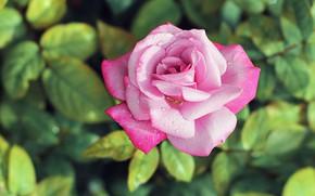 Картинка капли, роса, розовая, роза, бутон, нежная