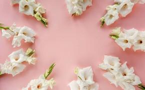 Картинка цветы, розовый фон, белые гладиолусы