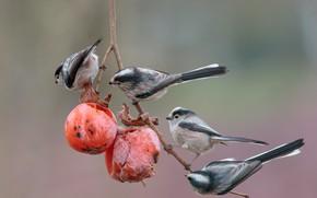 Картинка птицы, фон, ветка, плоды, хурма, трапеза, Длиннохвостая синица