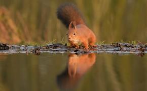Картинка взгляд, вода, отражение, белка, рыжая, боке