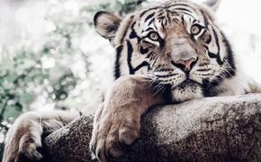 Картинка взгляд, морда, тигр, лапы, белый тигр, дикая кошка