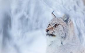 Обои зима, лес, кошка, взгляд, морда, снег, ветки, фон, снежный, портрет, рысь, дикая, милаха