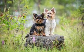 Картинка собаки, лето, трава, поза, камень, две, дуэт, друзья, две собаки, йоркширский терьер