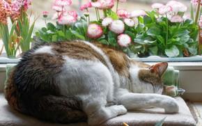 Картинка кошка, кот, цветы, поза, уют, дом, сон, окно, спит, лежит, подоконник, подстилка, маргаритки, пятнистая, свернулась …